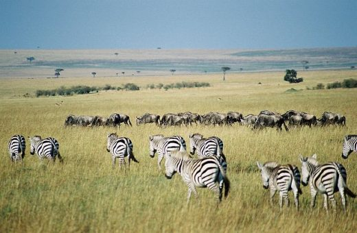 Gnous et Zèbre, Kenya