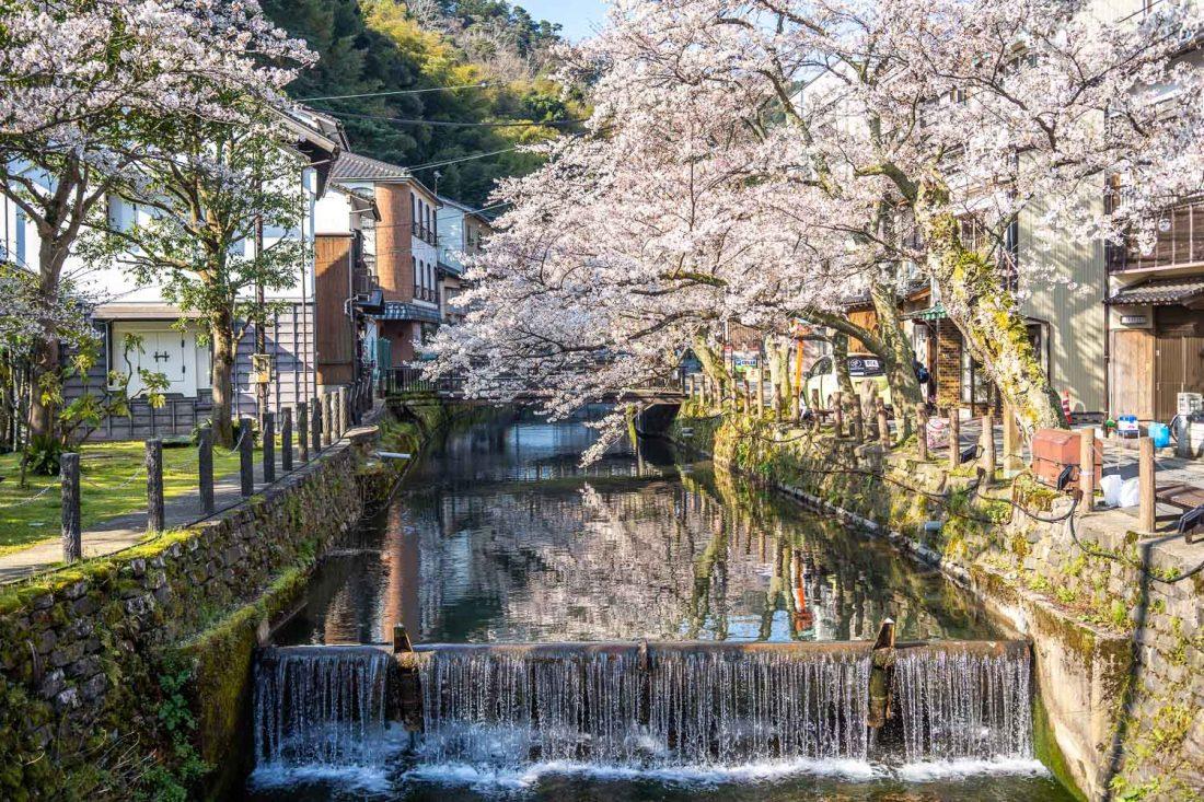 Cerisiers en fleurs le long du canal à Kinosaki Onsen, Japon