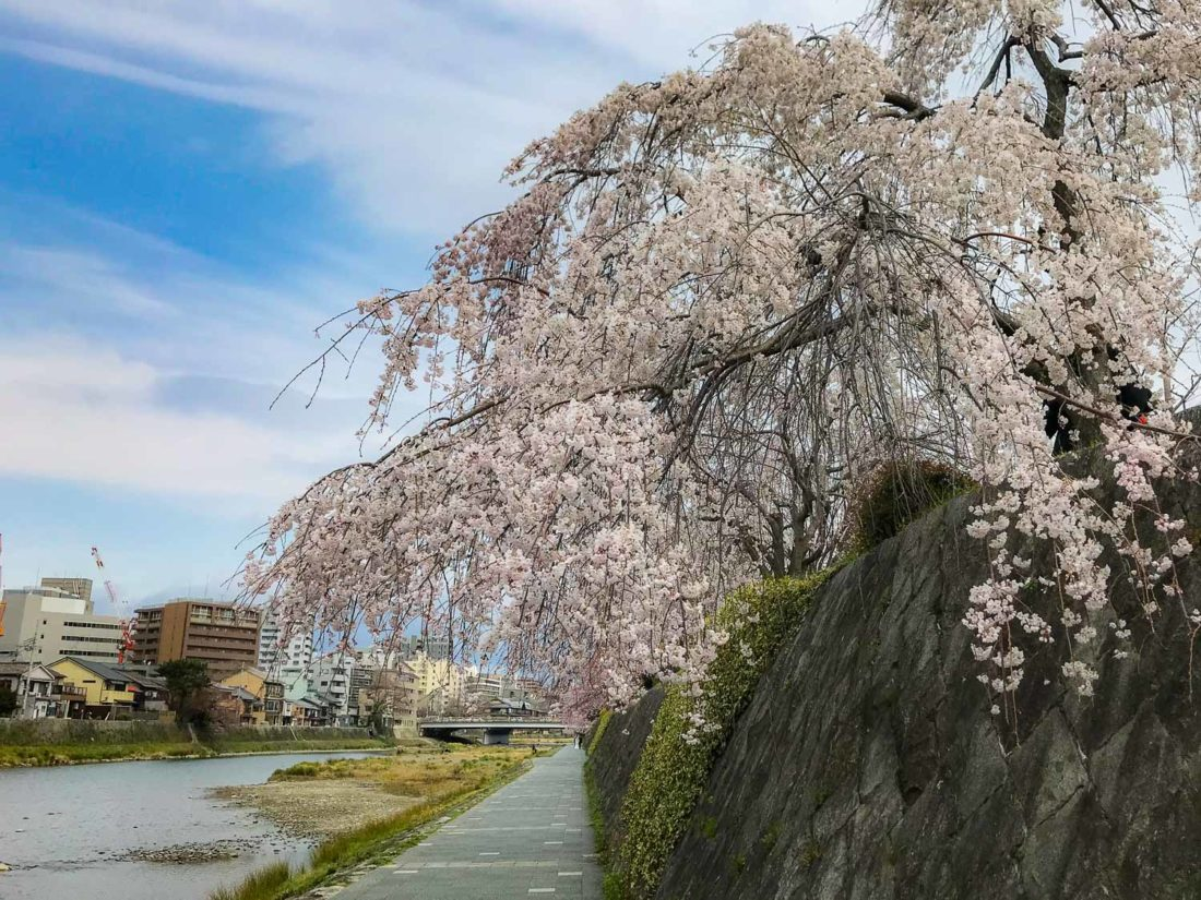 Fleurs de cerisier à Kyoto le long des rives de la rivière Kamogawa