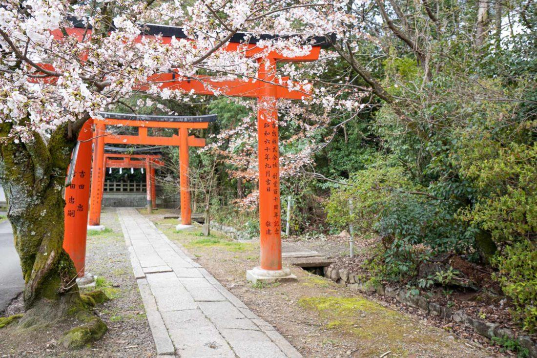 Portes de Torri et fleurs de cerisiers au sanctuaire Takenaka Inari à Kyoto