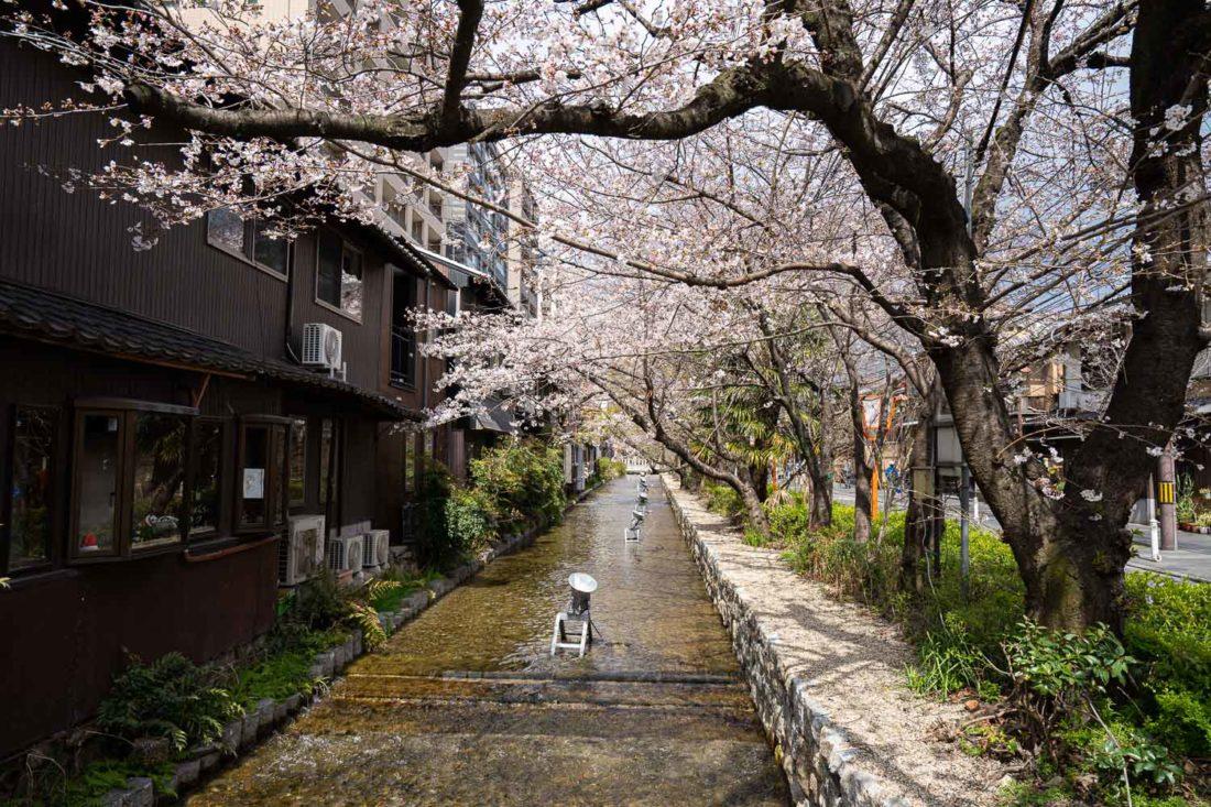 Fleurs de cerisier le long de la rivière Takase à Kyoto