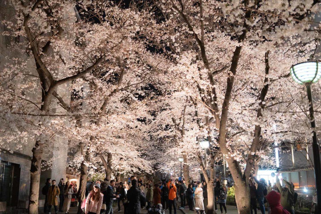 Fleurs de cerisier près du canal de Shirakawa à Gion, Kyoto la nuit