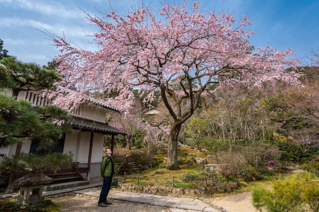 Cerisier pleureur au temple Jojakko-ji d'Arashiyama, Kyoto