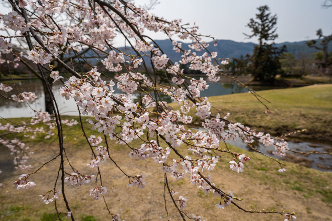 Fleurs de cerisier au bord de l'étang du temple Daikaku-ji à Arashiyama, Kyoto