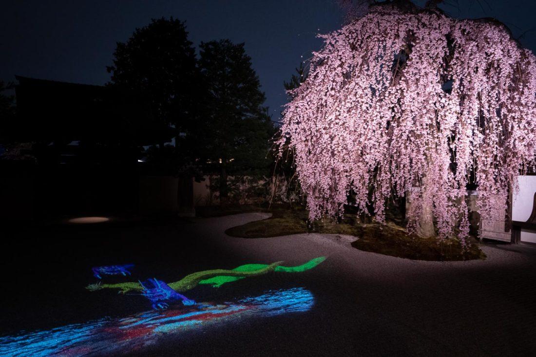 Cerisier pleureur dans le jardin de gravier aux illuminations nocturnes du temple Kodai-ji à Kyoto