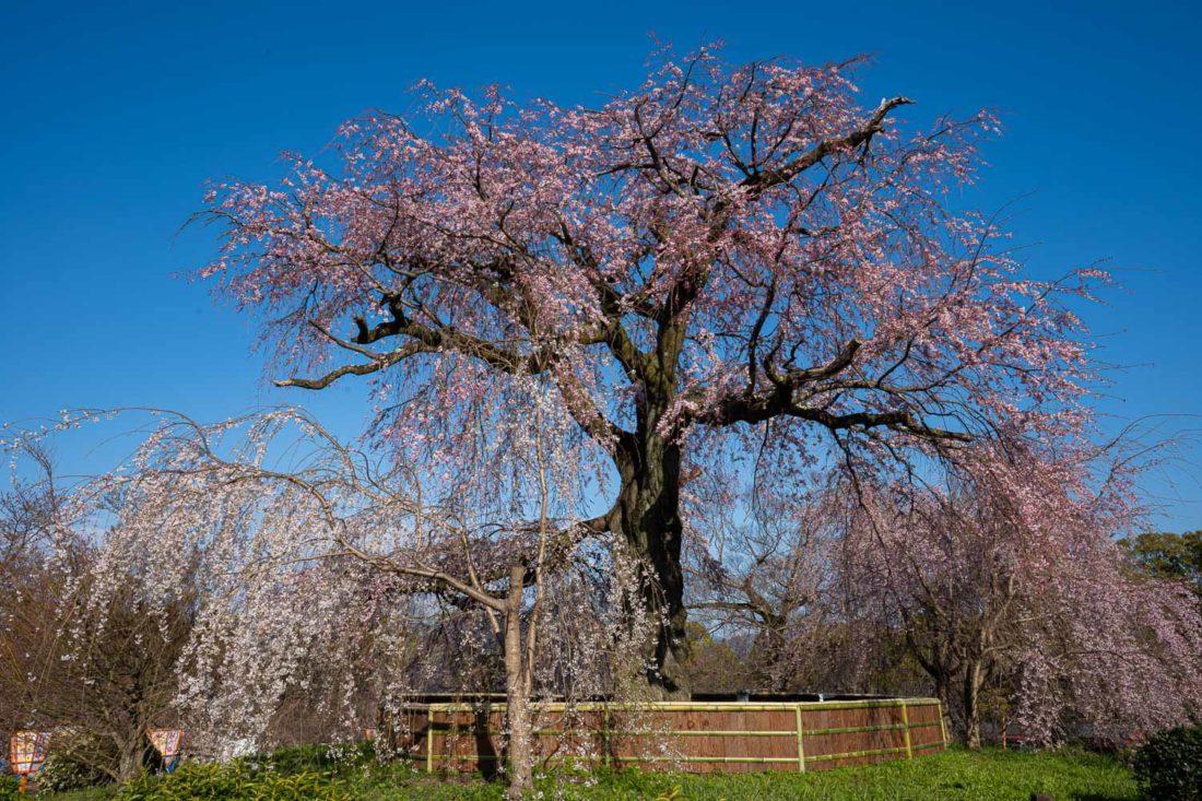 Cerisier pleureur au parc Maruyama, Kyoto