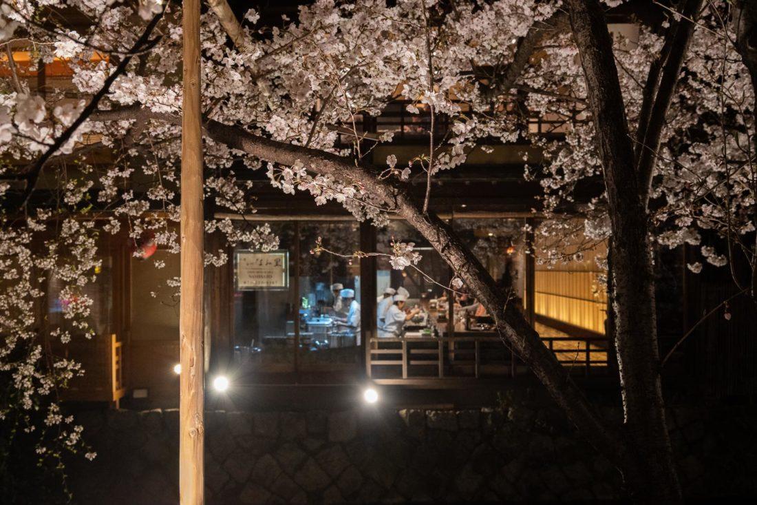 Cerisiers en fleurs sur le canal de Shirakawa à Gion