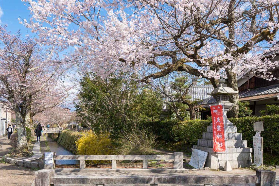 Cerisiers en fleurs le long du Sentier du Philosophe, l'un des endroits les plus populaires de Kyoto