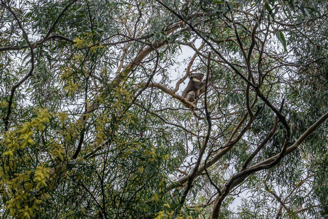 Koala dans un arbre sur Grey River Road à Kennett River