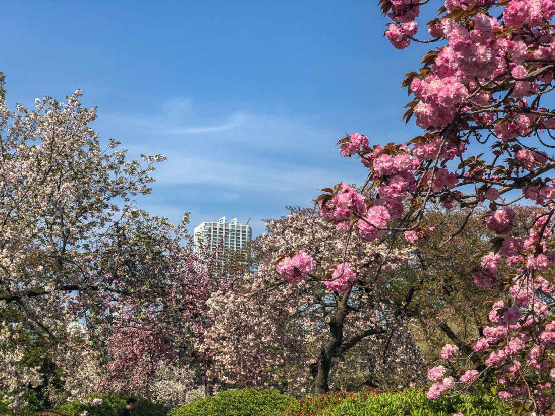 Fleurs de cerisiers à floraison tardive au jardin national Shinjuku Gyone à Shinjuku, Tokyo