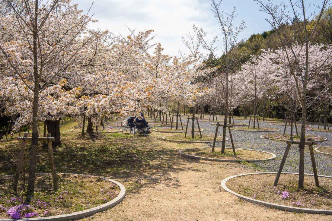 Labyrinthe de fleurs de cerisier sur l'île de Naoshima