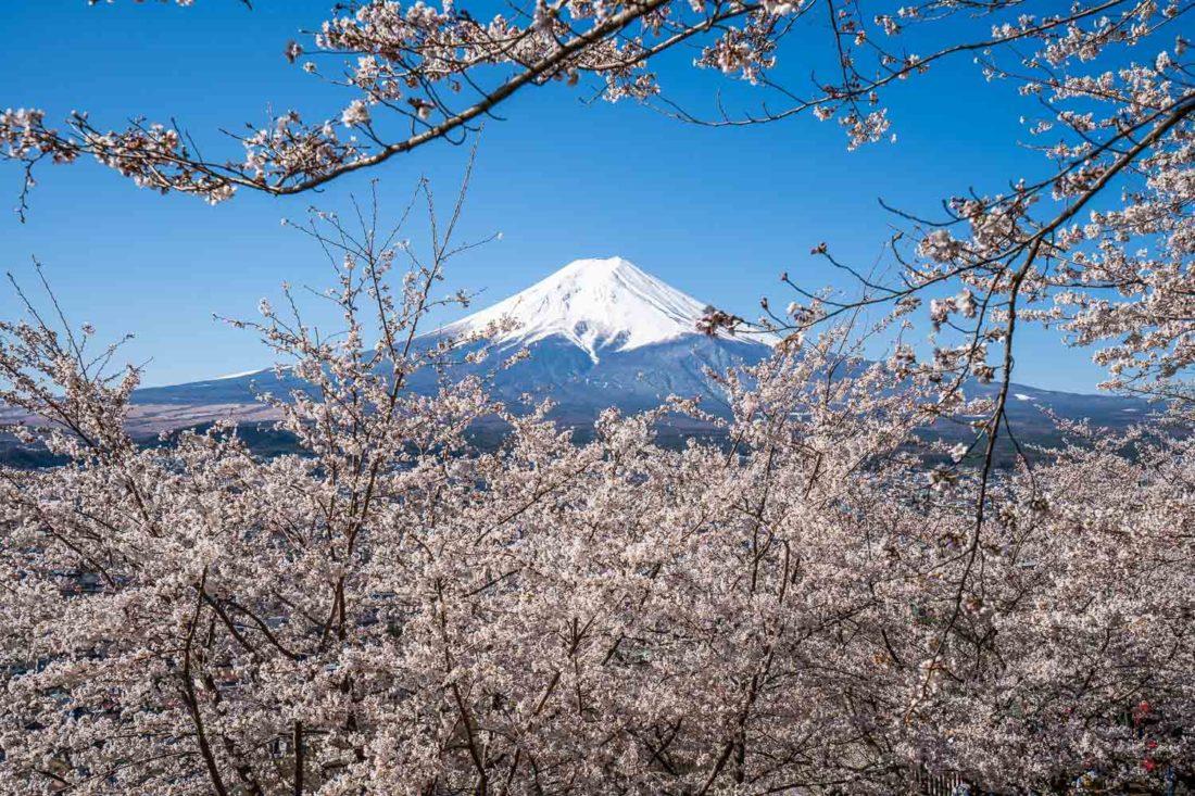 Le mont Fuji et les cerisiers en fleurs au parc Arakurayama Sengen dans la région des cinq lacs Fuji