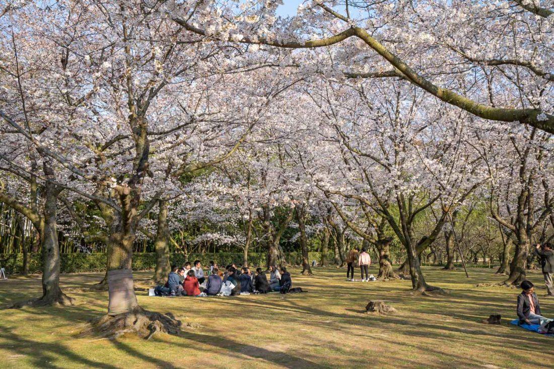 """Plantation de cerisiers en fleurs dans le jardin d'Okayama Korakuen """"width ="""" 1100 """"height ="""" 733"""