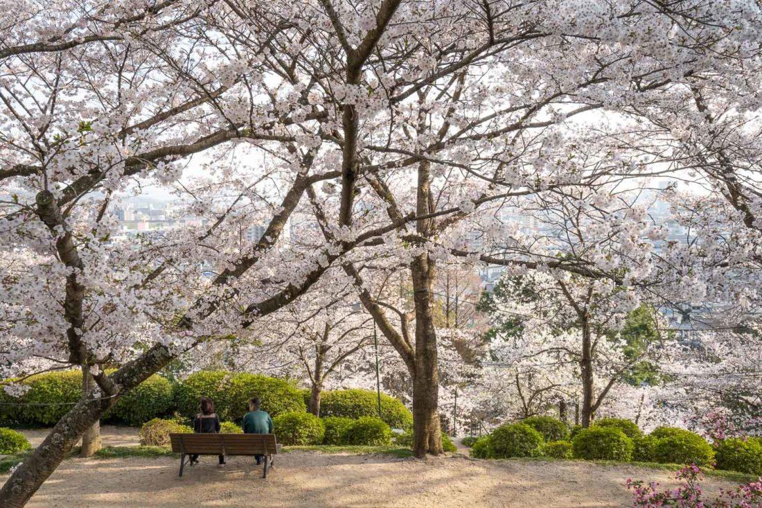 Fleurs de cerisier au jardin botanique de Handayama, l'une des meilleures choses à faire à Okayama au Japon