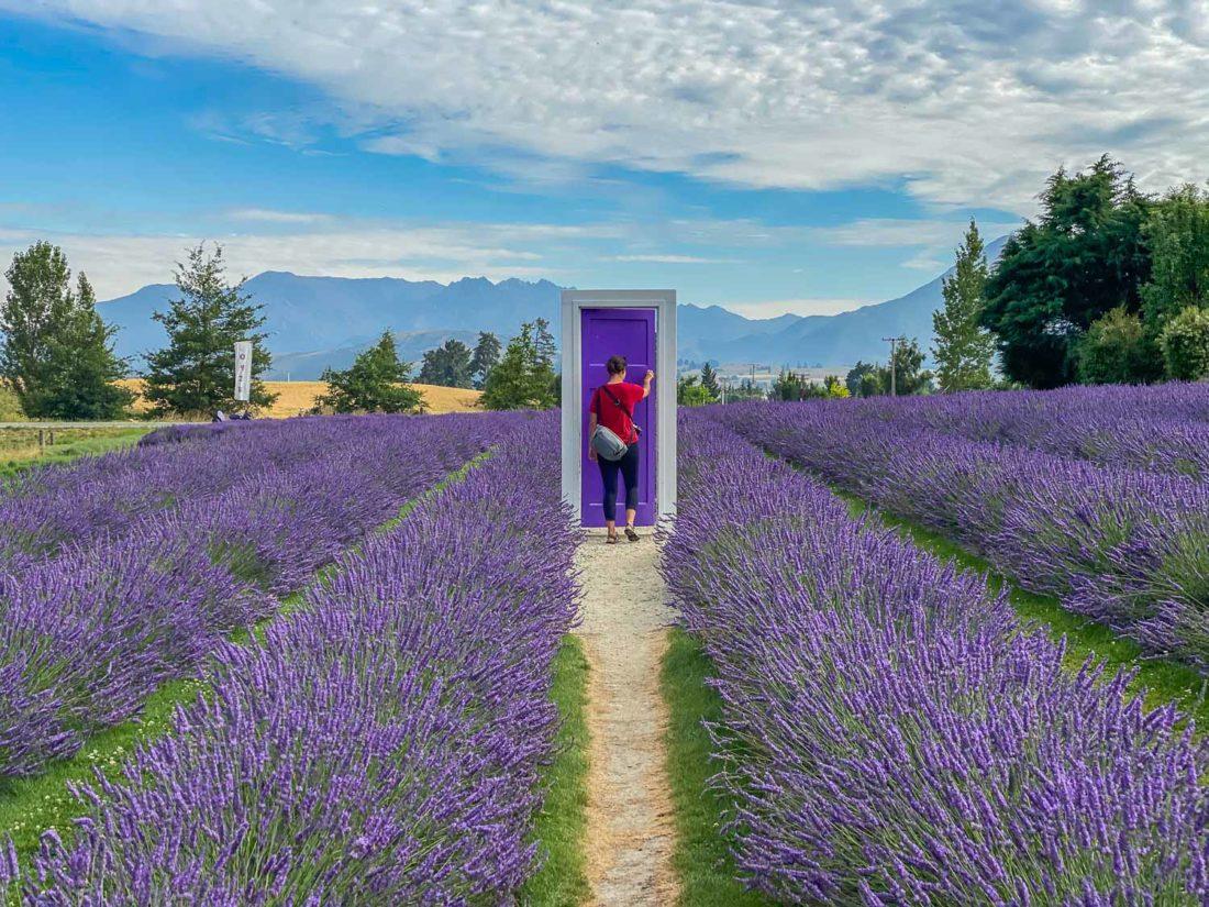 Une porte violette dans un champ de lavande à Wanaka Lavender Farm, une des meilleures attractions de Wanaka