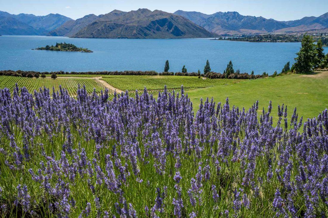 La vue de Rippon Winery de lavande, de vignes et du lac Wanaka